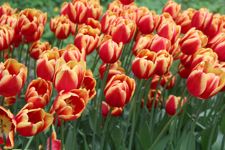 Multicolored tulips on nature Imagens - 124961646