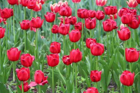 Multicolored tulips on nature Imagens - 124961647