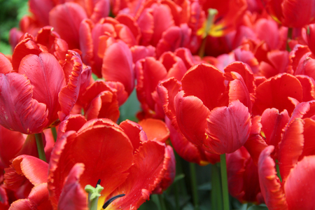Multicolored tulips on nature Imagens - 124961649