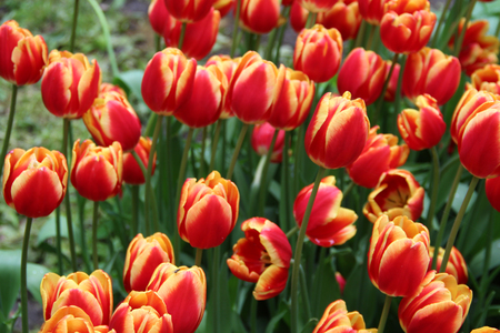 Multicolored tulips on nature Imagens - 124961650