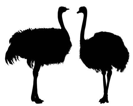 Wild African ostrich on a white background
