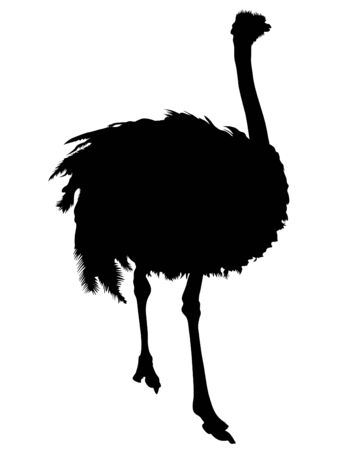 Wild African ostrich on a white background