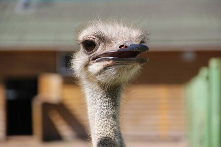Wild African Ostrich on a rural farm