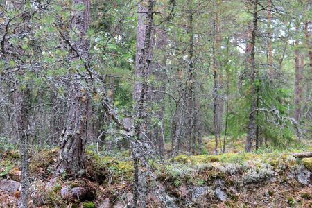 Large forest with old dry trees