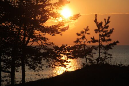 Pine branches on a background of sunset over sea