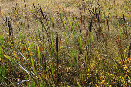Tall reeds in a swamp. Autumn landscape in the countryside