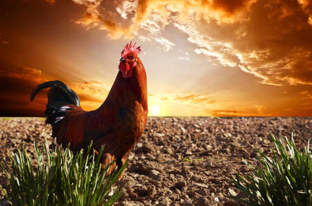 red rooster is on the plowed field; against a bright red sunset
