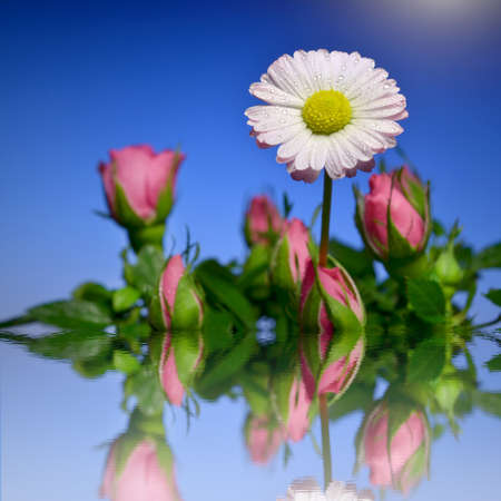 tinge: White daisy with a pink tinge in a bouquet of pink roses in the water  Mirror reflection in the water