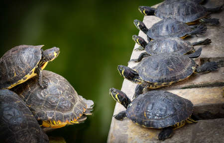 unleavened: Water Turtles family in the nature. Unleavened body of water. Stock Photo