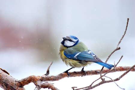blue tit: m�sange bleue en hiver