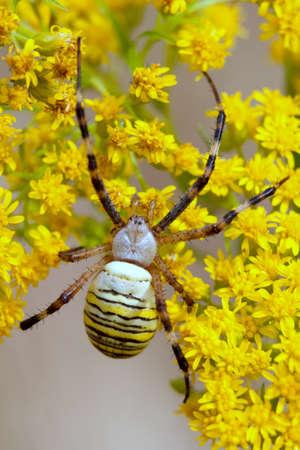 argiope: spider Argiope bruennichi on yelow flowers
