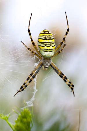 argiope: spider Argiope bruennichi soft light