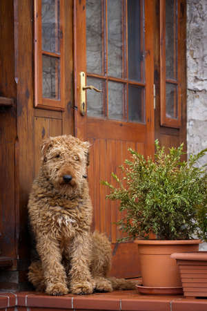 shaggy: shaggy dog sits and watches home