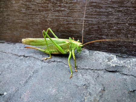 grasshopper on cornice
