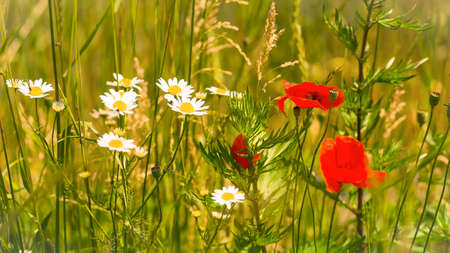Poppies, cornflowers and other wild flowers refer to the meadow