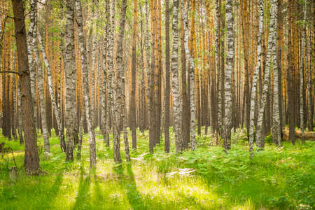 Panorama of beautiful birches in the forest in the spring in the sunshine