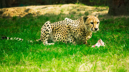 Cheetah eating meat