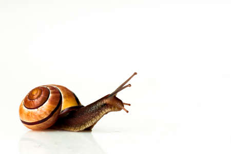 Brown snail on white isolated background
