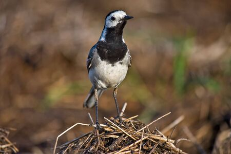 wagtail: wagtail standing on the hill