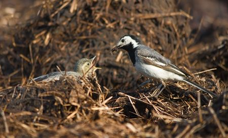wagtail lactescent chick  photo