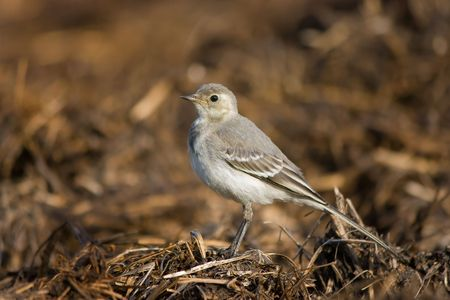 wagtail: standing wagtail Stock Photo