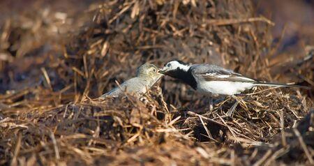 wagtail: wagtail lactescent chick