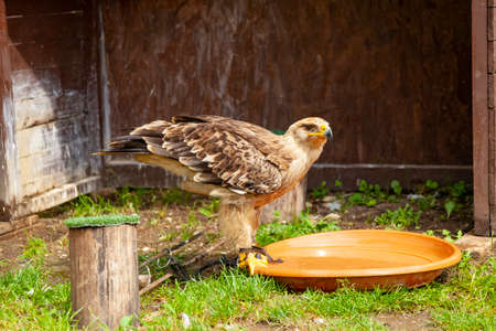 Golden eagle - a species of large talin from the hawk family 写真素材
