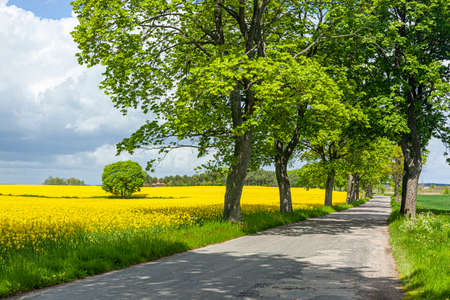 Rapeseed - yellow rapeseed flowers - agricultural landscape, Poland, Warmia and Mazury