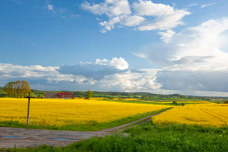 Rapeseed - yellow rapeseed flowers, roadside cross - agricultural landscape, Poland, Warmia and Mazury Standard-Bild