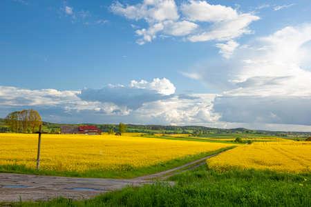 Colza - fleurs de colza jaune, croix de route - paysage agricole, Pologne, Warmie et Mazurie Banque d'images