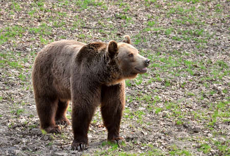 brawn: Brawn bear standing on a grass Stock Photo