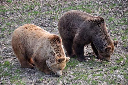 brawn: Two brawn bears eating grass