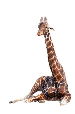 Magnificent sitting giraffe