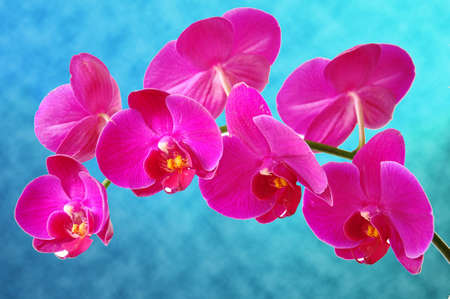 Branch of pink orchid on blue blurred background