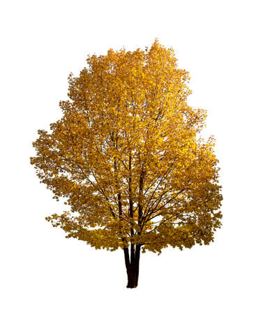 Colorful Autumn tree isolated on white
