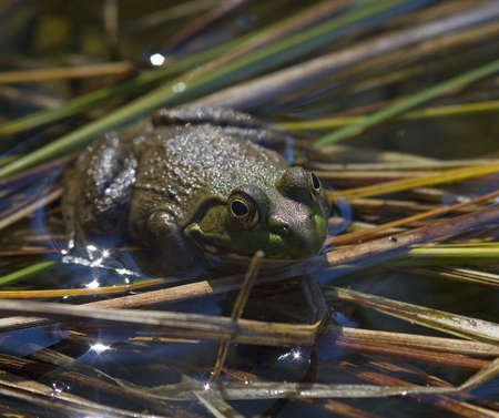 croak: backlit frog on reeds in a watery pond Stock Photo