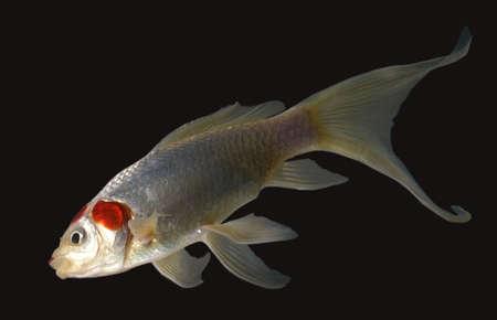 aquarium hobby: a fish in an aquarium heading for the light