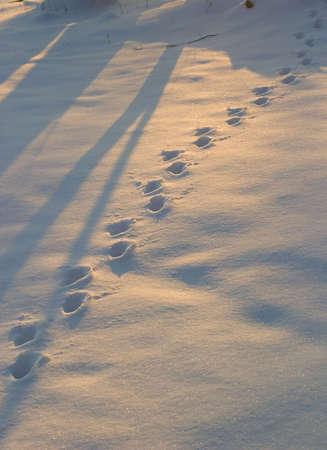 winter sunrise: animal tracks during sunset in fresh snow