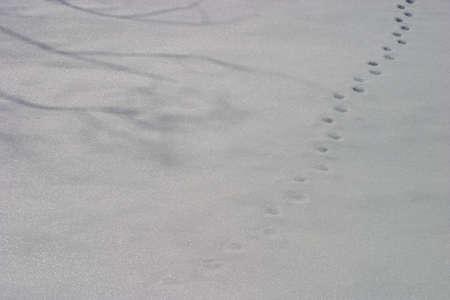 animal tracks: tracce di animali di et� comincia a sbiadire nella neve