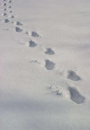 freshly fallen snow: piste dellanimale in una neve di recente caduta