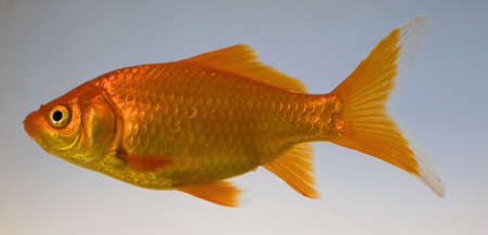 goldfish type known as a comet in water