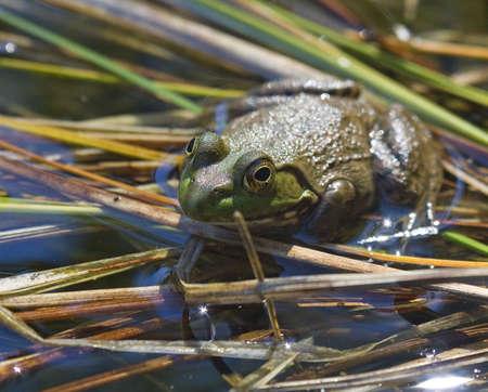 springtime frog on reeds on a backyard pond Stock Photo - 2938642