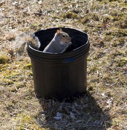 mischevious: squirrel snacking on someones fresh garden seeds Stock Photo