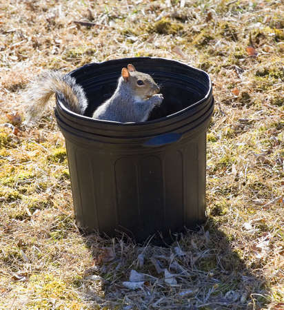 mischevious: squirrel eating a freshly planted garden seed Stock Photo