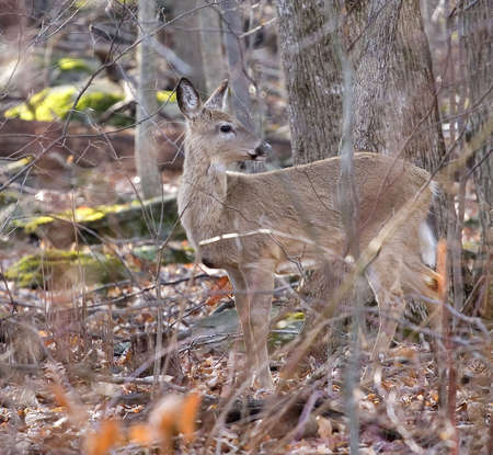 doe whitetail deer in an early morning forest Stock Photo - 2938734