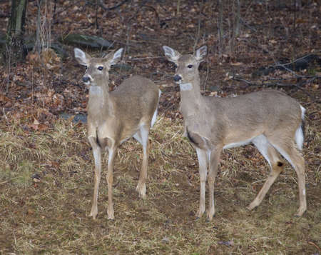a pair of whitetail deer coming out of the forest