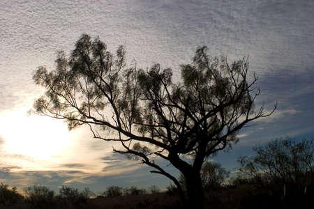 テキサス州メスキート ツリーの太陽でてくる 写真素材