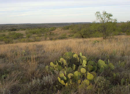 prickly pear cactus in west Texas before dawn