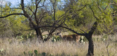 whitetail deer among the cactus of West Texas 版權商用圖片