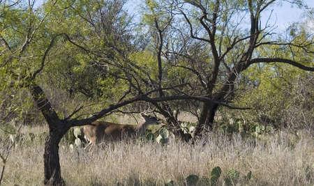 テキサス州のサボテンの中で食べる鹿